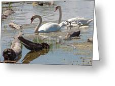 Swan Family Outting  Greeting Card