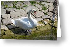 Swan Study 14 Greeting Card