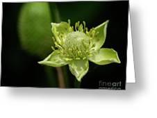 Thimbleweed Flower Greeting Card