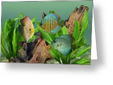 Three Discus Fish Greeting Card