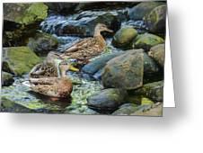 Three Mallard Ducks Swimming In A Stone Filled Brook. Greeting Card