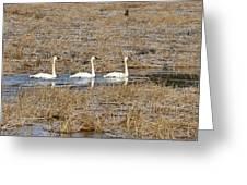 Three Trumpetor Swans 0629 Greeting Card