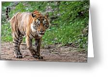 Tiger On A Stroll Greeting Card