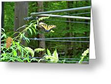 Tiger Swallowtail Butterfly Greeting Card