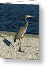 Tricolored Heron Portrait  Greeting Card