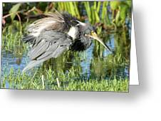 Tricolored Heron With Ruffled Feathers Greeting Card