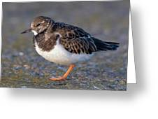 Turnstone Greeting Card