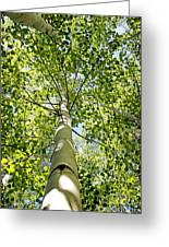 Under The Tall Aspens Greeting Card