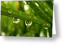 Water Drops On Wheat Leafs Greeting Card