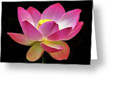 Water Lily In The Light Greeting Card by Howard Bagley