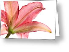 Wet Pink Lily From Below Against White Greeting Card