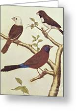 White Headed Munia, Double Coloured Seed Eater And Violet Eared Waxbill Greeting Card