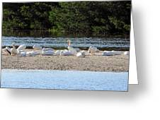 White Pelican Rest Greeting Card