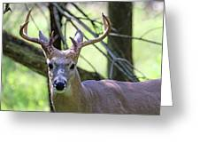 White Tailed Buck Portrait I Greeting Card