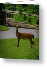White Tailed Doe Greeting Card