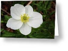 White Wood Anemone Greeting Card
