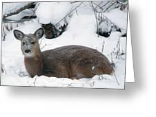 Whitetail Deer In Snow 120502 Greeting Card by Rick Veldman