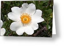 Wild Texas Rose, White Greeting Card