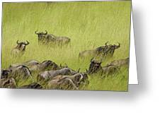 Wildebeest In Tall Grass Greeting Card by Mary Lee Dereske