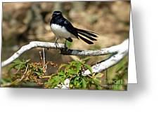 Willy Wagtail #1 Greeting Card