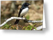 Willy Wagtail #2 Greeting Card