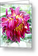Wilted Dahlia. Greeting Card