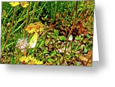 Yellow Hawkweed And Pink-edged Sulphur Butterfly Along Confederation Trail, Prince Edward Island  Greeting Card by Ruth Hager
