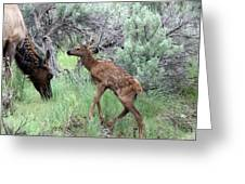 Yellowstone Elk Calf And Cow Greeting Card