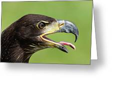 Young Bald Eagle 2 Greeting Card