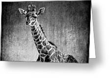 Young Giraffe Black And White Greeting Card