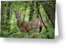 Young White-tailed Deer, Odocoileus Virginianus, With Velvet Antlers Greeting Card by William Dickman