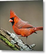 Portrait Of Cardinal  Metal Print