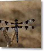 12 Spotted Skimmer Metal Print
