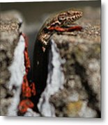 A Lizard Emerging From Its Hole Metal Print