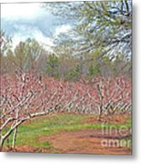 A Peach Orchard   Metal Print