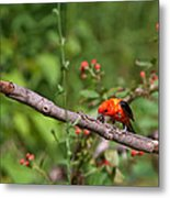 Berry Eating  Scarlet Tanager Metal Print