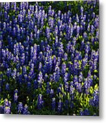 Bluebonnets In The Limelight Metal Print