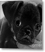 Brussel Griffon Puppy Painting Metal Print
