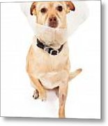 Chihuahua Mix Dog With Cone  Metal Print