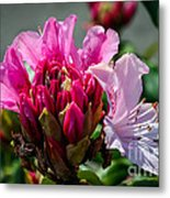 Coast Rhododendron Metal Print