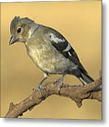 Female Chaffinch Metal Print