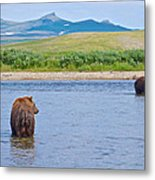 Grizzly Bears Looking At Each Other In Moraine River In Katmai Np-ak  Metal Print