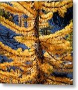 Larch Tree Closeup Metal Print