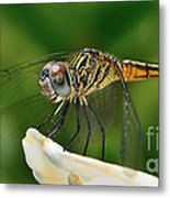 Austrogomphus Dragonfly Metal Print