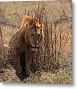 Lions Of The Ngorongoro Crater Metal Print