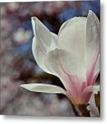 Magnolia Flowers In Spring Time Metal Print