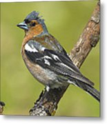 Male Chaffinch Metal Print