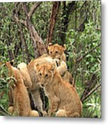 Masai Mara Lion Cubs Metal Print