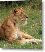 Masai Mara Lioness Metal Print