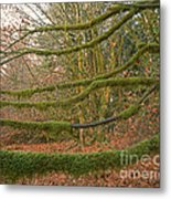 Moss-covered Big Leaf Maple Branches Metal Print